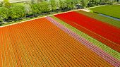 Aerial View Of Tulip Fields In Springtime, Holland, The Netherlands poster