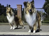Two Stunning Young Pedigree Female Black And Sable Rough Coated Collies By The Swimming Pool poster