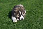 Caucasian Shepherd Dog Puppy  On A Green Lawn. poster