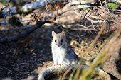 Tiger Quoll (dasyurus Maculatus) Also Called Spotted-tail Quoll Or Spotted-tailed Dasyure. Tasmania. poster