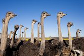 Group Of Ostriches Along The Garden Route With Yellow Rapeseed Fields In Background, South Africa poster
