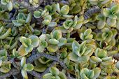 Beautiful Interesting Original Natural Background With Green Leaves Of Crassula In Close-up poster