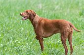pic of vizsla  - A happy looking Vizsla dog  - JPG