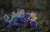 Rare Endangered Wild Forest Spring Beauties - Pasqueflowers poster