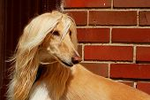 pic of cleopatra  - A windblown look for Afghan Hound Cleopatra against a brick background - JPG