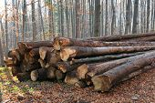Pile of wooden logs lie on forest meadow at autumn day. Stacks of wooden logs. Pile of firewood. Def poster