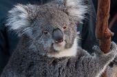 Portrait Of Cute Cuddly Koala Bear Animal On A Eucalyptus Tree. Australian Native Wildlife Endangere poster