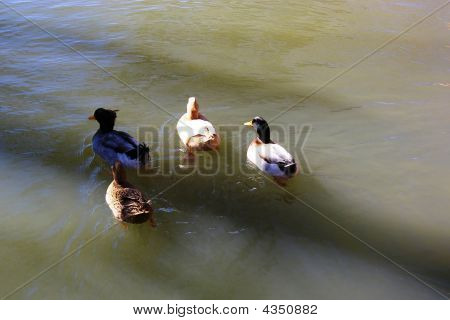 Four Ducks