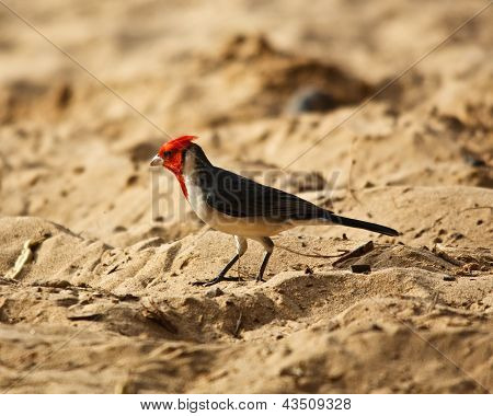 Red Crested Cardinal on Maui