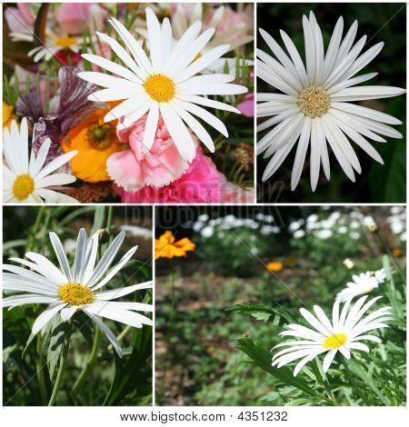 White Daisy Montage