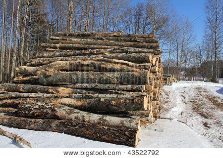 Birch Logs in Winter