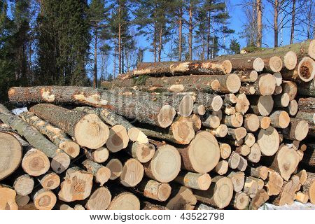 Wooden Logs with Conifers and Blue Sky