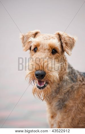 Happy Airedale Terrier Portrait