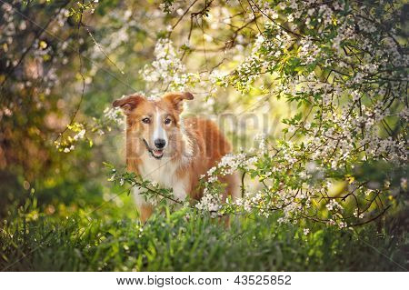 Border Collie Dog Portrait In Spring