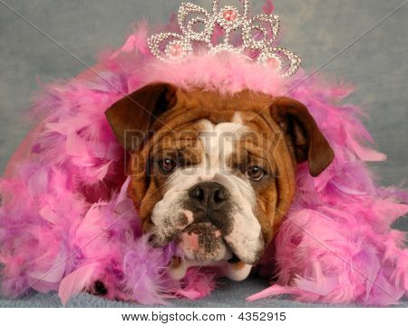 Bulldog Princess With Boa