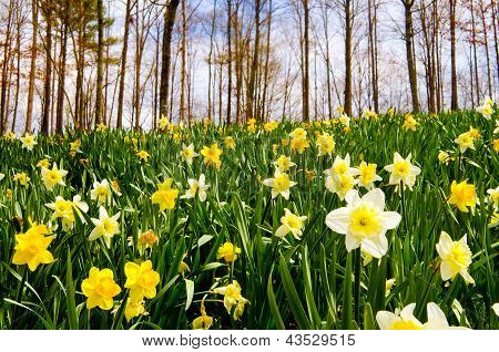 Field of daffodils blooming in early spring