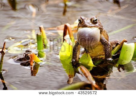 Bronze frog, Lithobates clamitans clamitans, making a mating call