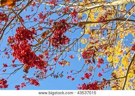 rowan tree and blue sky on a sunny day
