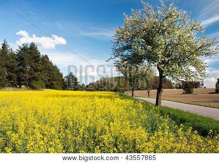 Primavera bela vista da estrada, beco da macieira, o campo de colza e céu com couds