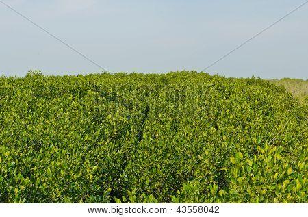 Bosque de manglar