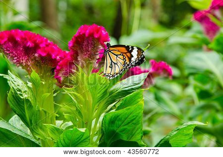 Butterfly sucking nectar from a flower