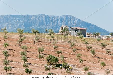Olive plantation with hill in distance