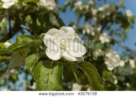 Apple Flowers In Spring
