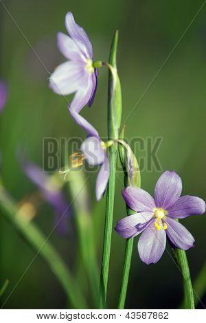 First Spring Flower - Scilla Siberica