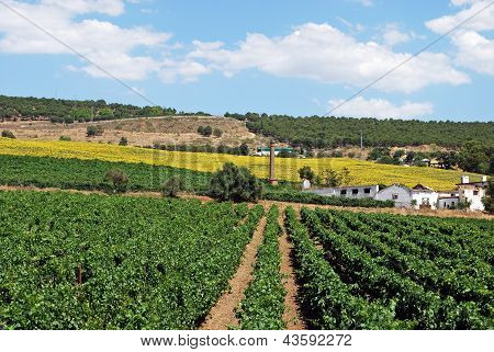 Vineyards, Cortes de la Frontera, Spain.