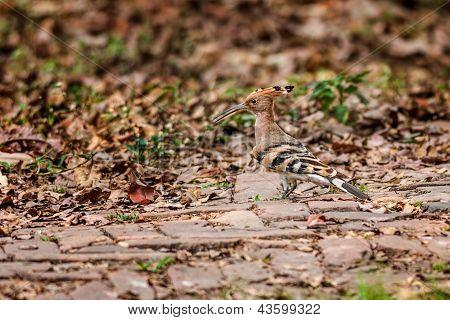 Common Hoopoe, Upupa Epops, Bird, Walking On A Brick Path, Copy Space
