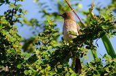 stock photo of bulbul  - Common Bulbul from West Africa perched on leafy branch - JPG