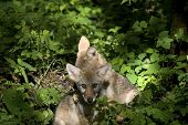 Coyote Pups Sitting In The Woods