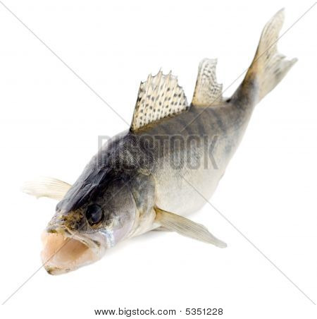 Fish Walleye