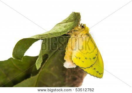 Female Roseapple Caterpillar Moth