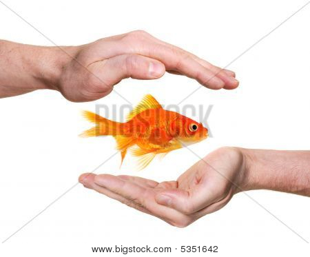 Hands Protecting Or Catching Goldfish