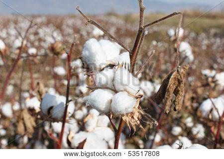 Ripe Cotton