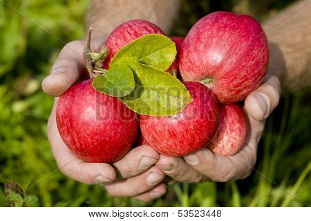 Hands Holding Red Apples