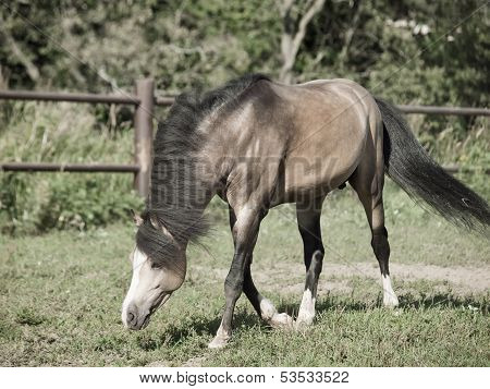 Running Beautiful Buckskin Stallion Welsh Pony