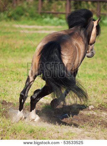 Jumping  Buckskin Welsh Pony