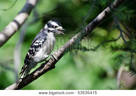 Downy Woodpecker In Mid-call