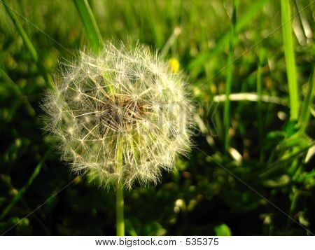 Dandilion In Grass