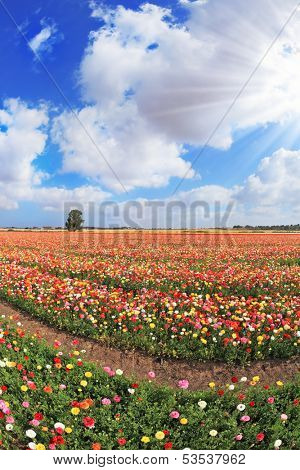 Boundless kibbutz field sown with flowers. The magnificent garden buttercups in Israel