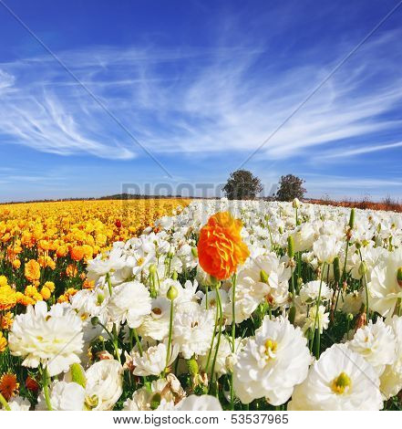 Huge kibbutz field of multi-colored buttercups (Ranunculus asiaticus).  The wonderful spring weather, light cirrus clouds flying across a blue sky. The picture was taken Fisheye lens