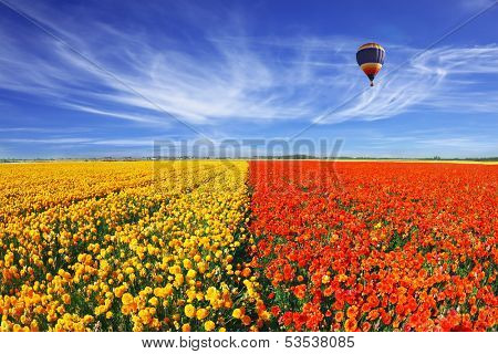 The huge field of red and orange buttercups (Ranunculus asiaticus). Wonderful spring mood, nice big balloon flies over the field. The picture was taken Fisheye lens