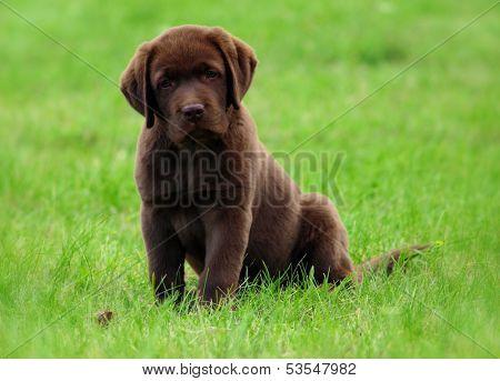 Cute brovn labrador retriver puppy
