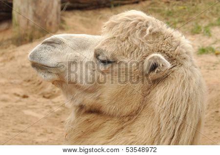 Head Camel