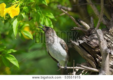Common Bulbul Reaching For A Yellow Flower