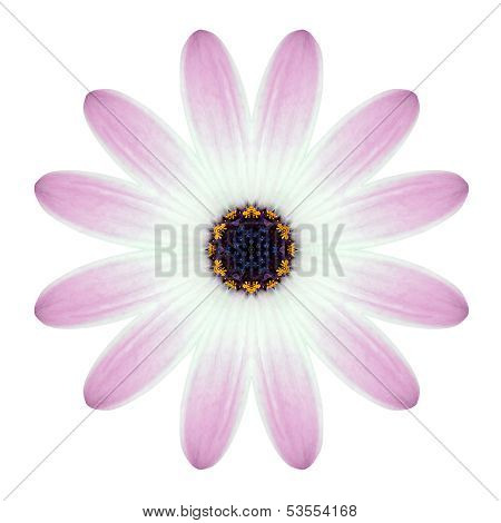Kaleidoscopic Osteospermum Flower Mandala  Isolated On White