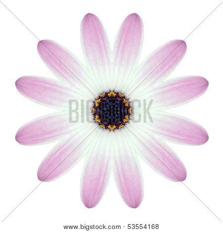 Kaleidoscopic Osteospermum Flower Mandala  Isolated On White