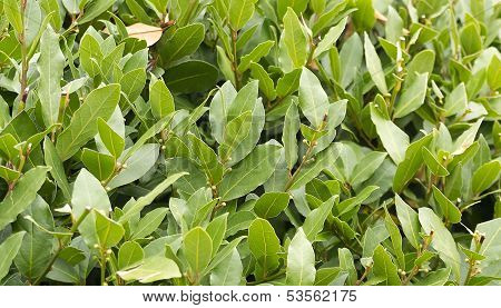Laurel Bush Hedge Growing In A Spring Garden